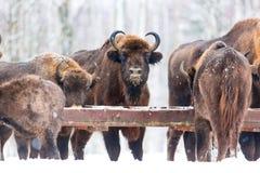 Wielka brown żubra Wisent grupa karmi blisko zima lasu z śniegiem Stado Europejscy tury żubry, żubr Bonasus Natury habita zdjęcia stock
