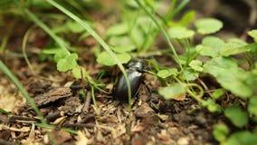 Wielka czarna jeleń ściga skrada się w trawie w lasowym zbliżeniu zdjęcie wideo