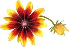 Wielka czerwień i żółty kwiat odizolowywający na bielu royalty ilustracja