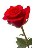 wielka czerwona róża Zdjęcia Stock