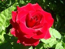 wielka czerwona róża Obrazy Royalty Free