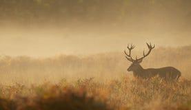 Wielka czerwonego rogacza jelenia sylwetka Zdjęcie Royalty Free