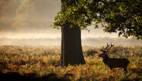 Wielka czerwonego rogacza jelenia sylwetka Zdjęcia Royalty Free