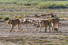 Wielka duma lwy w sawannie Amboseli Kenja Fotografia Stock