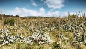 Wielka dziewanna - Verbascum thapsus Obrazy Royalty Free