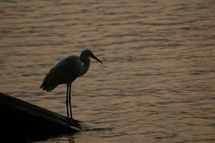 Wielka Egret pozycja na Pływakowym drewnie Zdjęcia Royalty Free