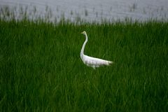 Wielka Egret pozycja w zielonej bagno trawie podczas gdy ja pada zdjęcia royalty free
