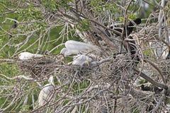 Wielka Egret rodzina na swój gniazdeczku Zdjęcie Royalty Free