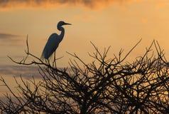 Wielka Egret wschodu słońca żerdź II Zdjęcia Royalty Free