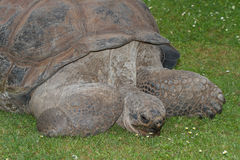 Wielka Galapagos tortoise łasowania trawa Zakończenie Obraz Royalty Free
