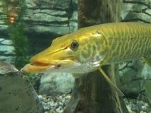 Wielka gar ryba zdjęcie royalty free