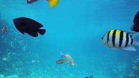 Wielka grupa rybi pływanie w Czerwonym morzu zbiory