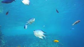 Wielka grupa rybi pływanie w Czerwonym morzu zbiory wideo