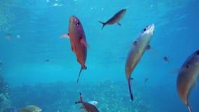 Wielka grupa rybi pływanie w Czerwonym morzu zdjęcie wideo