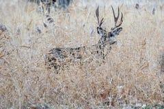 Wielka i piękna muledeer samiec chuje w trawie w jesieni zdjęcia royalty free