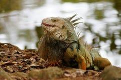 Wielka iguana Fotografia Stock