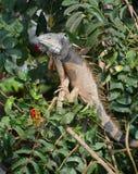 Wielka iguana Zdjęcie Royalty Free