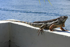 Wielka iguana w Floryda Fotografia Stock