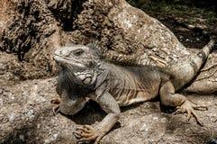Wielka iguana w Guayaquil, Ekwador zdjęcia royalty free