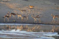 Wielka impala stada woda pitna przy stawem w późnym popołudniu Obrazy Stock