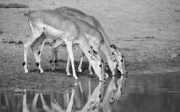 Wielka impala stada woda pitna przy stawem w późnym popołudniu Zdjęcia Royalty Free