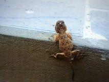 Wielka jaszczurka chwyta schodki zdjęcia royalty free