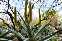 Wielka jukki roślina z żółtymi pączkami obraz royalty free
