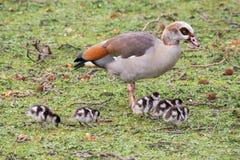 Wielka kaczka i dzieci kaczątka w parku fotografia stock