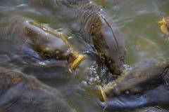 Wielka koi ryba Zdjęcia Stock