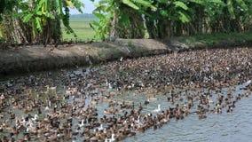 Wielka kolonia kaczki zbiory