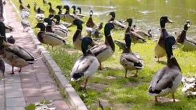 Wielka kolonia kaczki karmi na brzeg miasto staw w parku Zako?czenie materia? filmowy Wolny playback zbiory wideo