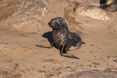 Wielka kolonia przyl?dek futerkowe foki przy przyl?dka krzy?em w Namibia obraz royalty free