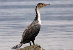 Wielka kormoran pozycja na skale Fotografia Royalty Free
