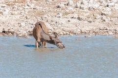 Wielka kudu krowa, Tragelaphus strepsiceros, woda pitna Obrazy Royalty Free