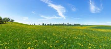 Wielka kwitnąca łąka z dandelion Zdjęcia Stock