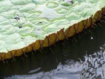 wielka lelui rośliny woda Obrazy Royalty Free