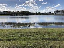 wielka lotu heron niebieski Zdjęcie Royalty Free