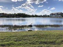 wielka lotu heron niebieski Zdjęcia Royalty Free