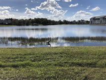 wielka lotu heron niebieski Zdjęcie Stock