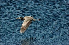 wielka lotu heron niebieski Obrazy Stock