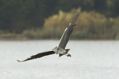 wielka lotu heron niebieski Obraz Stock