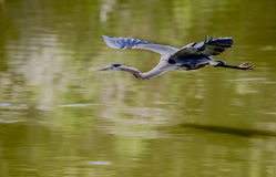 wielka lotu heron niebieski Obrazy Royalty Free