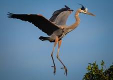 wielka lotu heron niebieski Obraz Royalty Free