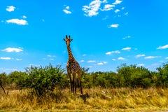 Wielka męska żyrafa pod niebieskim niebem w Kruger parku Obraz Royalty Free