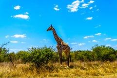 Wielka męska żyrafa pod niebieskim niebem w Kruger parku Obrazy Stock