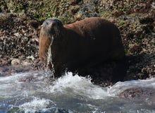 Wielka Męska Afrykańska Futerkowa foka Zdjęcia Stock