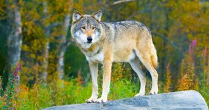 Wielka męska popielatego wilka pozycja na skale w lesie Obraz Stock