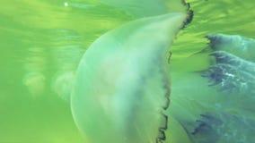 Wielka meduza unosi się w głębokiej wodzie morskiej zbiory wideo