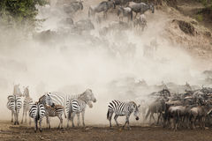 Wielka migracja, Kenja Zdjęcie Royalty Free