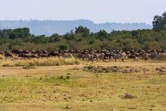wielka migracja Stada na Mara rzece Kenja Obrazy Royalty Free